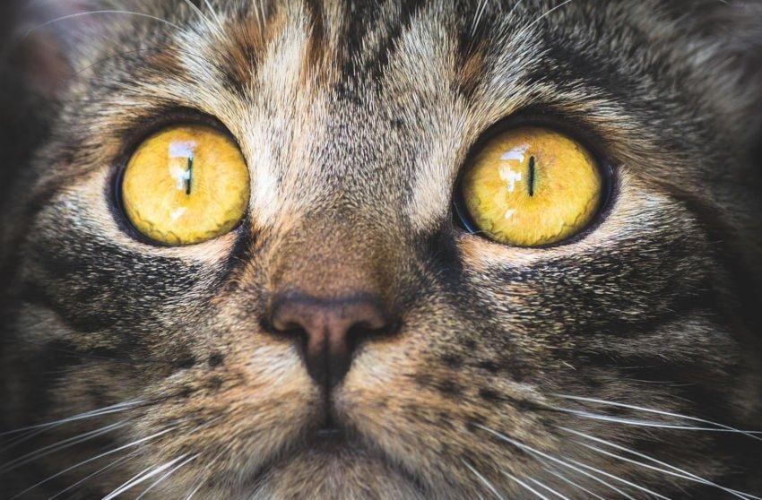 Olhar de um gato cinza. Por KatinkavomWolfenmond  de Pixabay